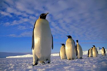 Emperor Penguin (Aptenodytes forsteri) group, Kloa Point, Edward VIII Gulf, Antarctica  -  Tui De Roy
