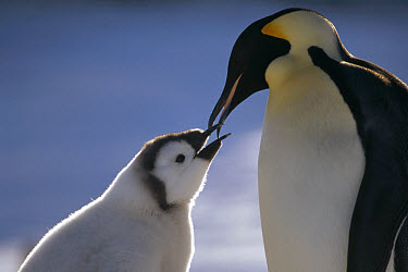 Emperor Penguin (Aptenodytes forsteri) parent feeding chick, Riiser-Larsen Ice Shelf, Weddell Sea, Antarctica  -  Tui De Roy