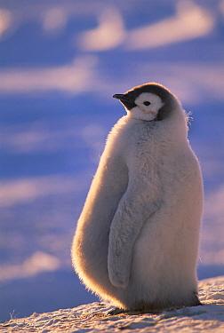 Emperor Penguin (Aptenodytes forsteri) chick with bulging stomach from recent feeding, Atka Bay rookery, Princess Martha Coast, Weddell Sea, Antarctica  -  Tui De Roy