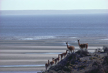 Guanaco (Lama guanicoe) family group in sparse coastal Patagonian steppe habitat, Valdes Peninsula, Patagonia, Argentina  -  Tui De Roy