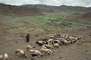 Goat (Capra sp) herder with flock where grazing devastates high ridges near Lakpa La, high pass near base of Mt Everest, Tibet  -  Tui De Roy