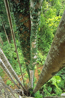 Brown-wolly Fig (Ficus drupacea) tree, 35 meters above the ground, Sulawesi, Indonesia  -  Tui De Roy