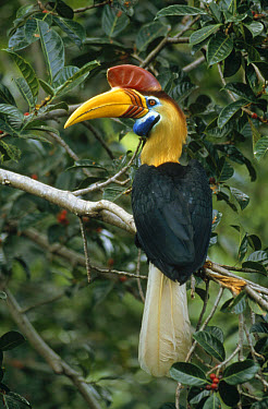 Sulawesi Red-knobbed Hornbill (Aceros cassidix) breeding male in fruiting Fig (Ficus forsteni), Tangkoko-Dua Saudara Nature Reserve, Sulawesi, Indonesia  -  Mark Jones