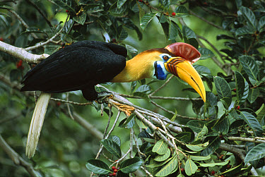 Sulawesi Red-knobbed Hornbill (Aceros cassidix) breeding male in a fruiting Fig tree (Ficus forsteni) 32 meters above the ground in rainforest canopy, Tangkoko-Dua Saudara Nature Reserve, Sulawesi, In...  -  Mark Jones