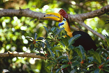 Sulawesi Red-knobbed Hornbill (Aceros cassidix) breeding male in a fruiting Fig (Ficus forsteni) tree, 32 meters above the ground in rainforest canopy, Tangkoko-Dua Saudara Nature Reserve, Sulawesi, I...  -  Tui De Roy