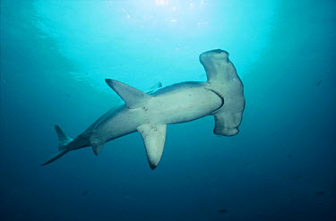 Scalloped Hammerhead Shark (Sphyrna lewini) swimming along deep wall, Wenman Island, Galapagos Islands, Ecuador  -  Tui De Roy