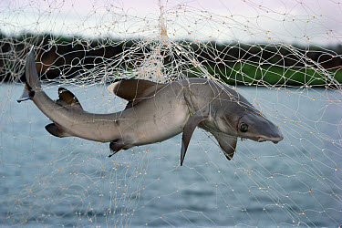 Illegal gillnet fishing officially banned since 1989 Illicit gill nests snare baby sharks in mangrove nurseries, Academy Bay, Santa Cruz Island, Galapagos Islands, Ecuador  -  Tui De Roy