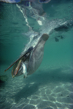 Brown Pelican (Pelecanus occidentalis) catching mullet underwater, Turtle Bay, Santa Cruz Island, Galapagos Islands, Ecuador  -  Tui De Roy