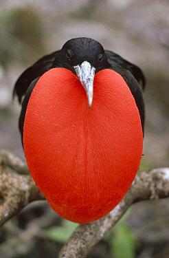 Great Frigatebird (Fregata minor) male with inflated gular pouch in courtship display, Tower Island, Galapagos Islands, Ecuador  -  Tui De Roy