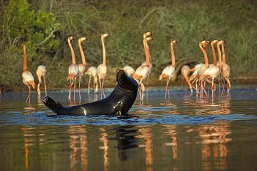 Greater Flamingo (Phoenicopterus ruber) group and Galapagos Sea Lion (Zalophus wollebaeki) sharing Salt Pond, Rabida Island, Galapagos Islands, Ecuador  -  Tui De Roy