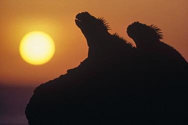 Marine Iguana (Amblyrhynchus cristatus) pair silhouetted on lava shore at sunset, Cape Douglas, Fernandina Island, Galapagos Islands, Ecuador  -  Tui De Roy