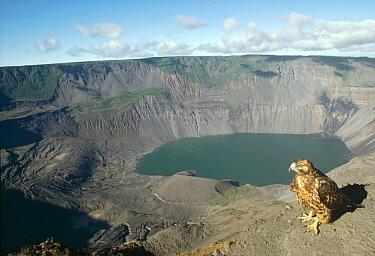 Galapagos Hawk (Buteo galapagoensis) overlooking 1000 meter deep active caldera, Fernandina Island, Galapagos Islands, Ecuador  -  Tui De Roy