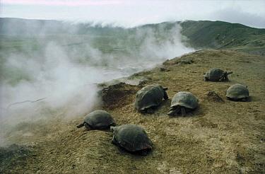Galapagos Giant Tortoise (Chelonoidis nigra) group in fumarole area on caldera edge, Alcedo Volcano, Isabella Island, Galapagos Islands, Ecuador  -  Tui De Roy