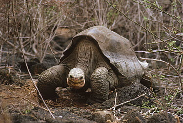 Pinta Island Galapagos Tortoise (Chelonoidis nigra abingdoni), Lonesome George, the last survivor of his race, Darwin Reserve Station, Santa Cruz Island, Galapagos Islands, Ecuador  -  Tui De Roy