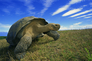 Volcan Alcedo Giant Tortoise (Chelonoidis vandenburghi) old male in dry season on caldera rim, Alcedo Volcano, Isabella Island, Galapagos Islands, Ecuador  -  Tui De Roy