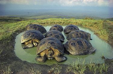 Galapagos Giant Tortoise (Chelonoidis nigra) group wallowing in seasonal pond on caldera rim, Alcedo Volcano, Isabella Island, Galapagos Islands, Ecuador  -  Tui De Roy