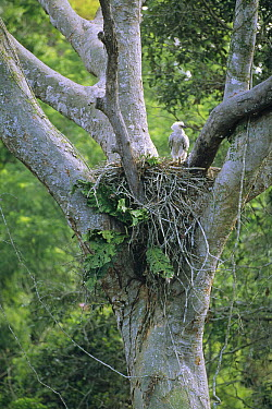 Harpy Eagle (Harpia harpyja) three month old chick awaiting mother's return to rainforest nest, Tambopata-Candamo Reserved Zone, Amazon Basin, Peru  -  Tui De Roy