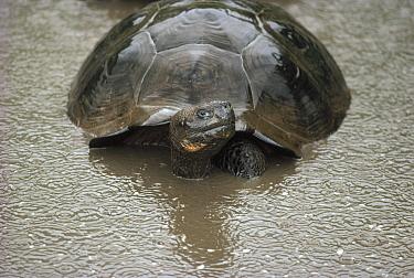 Galapagos Giant Tortoise (Chelonoidis nigra) wallowing in fresh pool during rainy season downpour, Alcedo Volcano, Isabella Island, Galapagos Islands, Ecuador  -  Tui De Roy
