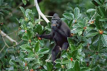 Celebes Black Macaque (Macaca nigra) stripping fig (Ficus forstini) of ripe fruit, Tangkoko-Dua Saudara Nature Reserve, Sulawesi, Indonesia  -  Tui De Roy