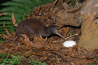 Brown Kiwi (Apteryx australis) parent with egg, Kiwi House, Otorohanga Breeding Facility, New Zealand  -  Tui De Roy