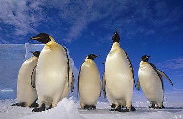 Emperor Penguin (Aptenodytes forsteri) group, near Ekstrom Ice Shelf, Weddell Sea, Antarctica  -  Tui De Roy