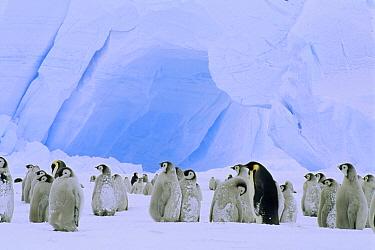 Emperor Penguin (Aptenodytes forsteri) large rookery on sea ice, Atka Bay, Princess Martha Coast, Weddell Sea, Antarctica  -  Tui De Roy