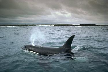 Orca (Orcinus orca) male frequenting inshore waters in search of stingrays, Santa Cruz Island, Galapagos Islands, Ecuador  -  Tui De Roy