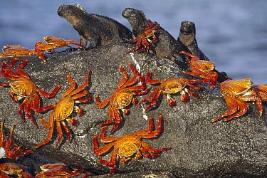 Sally Lightfoot Crab (Grapsus grapsus) group sharing boulder with Marine Iguana (Amblyrhynchus cristatus) trio to escape high tide, Mosquera Island, Galapagos Islands, Ecuador  -  Tui De Roy