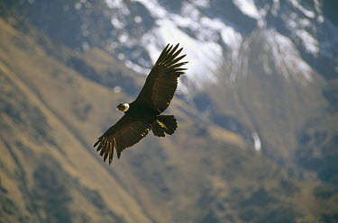 Andean Condor (Vultur gryphus) the largest flying bird with three meter wingspan weighing 11 kg, soaring over thermal updraft over 12,000 meter deep Colca Canyon, Peruvian Andes, Peru  -  Tui De Roy