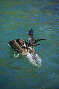 Brown Noddy (Anous stolidus) attempting to snatch fish from Brown Pelican (Pelecanus occidentalis), Academy Bay, Santa Cruz Island, Galapagos Islands, Ecuador  -  Tui De Roy