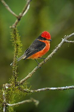 Vermilion Flycatcher (Pyrocephalus rubinus) male in mossy scalesia tree, Santa Cruz Island, Galapagos Islands, Ecuador  -  Tui De Roy