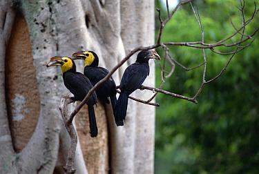 Tarictic Hornbill (Penelopides panini) cooperative nesting, non-breeding female with male and helper, Tangkoko-Dua Saudara Nature Reserve, Sulawesi, Indonesia  -  Tui De Roy