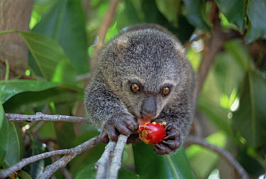 Bear Cuscus (Ailurops ursinus) an endemic marsupial feeding on False Banyon (Ficus altissima) fruit, Tangkoko-Dua Saudara Nature Reserve, Sulawesi, Indonesia  -  Tui De Roy