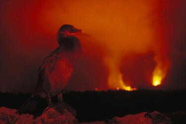 Flightless Cormorant (Phalacrocorax harrisi) with volcanic eruption, Cape Hammond, Fernandina Island, Galapagos Islands, Ecuador  -  Tui De Roy