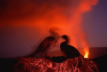 Flightless Cormorant (Phalacrocorax harrisi) nesting pair with volcanic eruption, Cape Hammond, Fernandina Island, Galapagos Islands, Ecuador  -  Tui De Roy