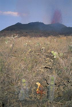 Galapagos Land Iguana (Conolophus subcristatus) wandering among scalded vegetation near fountaining vent, Cape Hammond, Fernandina Island, Galapagos Islands, Ecuador  -  Tui De Roy