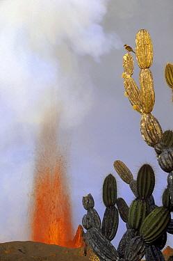 Galapagos Mockingbird (Nesomimus parvulus) surveying its territory from atop a Giant Candelabra Cactus (Jasminocereus thouarsii) near fountain vent, Cape Hammond, Fernandina Island, Galapagos Islands,...  -  Tui De Roy