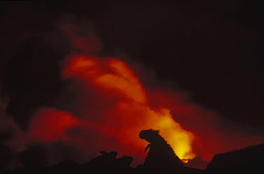 Marine Iguana (Amblyrhynchus cristatus) with new lava flow, Cape Hammond, Fernandina Island, Galapagos Islands, Ecuador  -  Tui De Roy