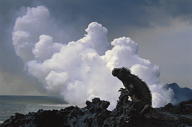 Marine Iguana (Amblyrhynchus cristatus) group in overheated sky-pointing posture with new lava flow, Cape Hammond, Fernandina Island, Galapagos Islands, Ecuador  -  Tui De Roy