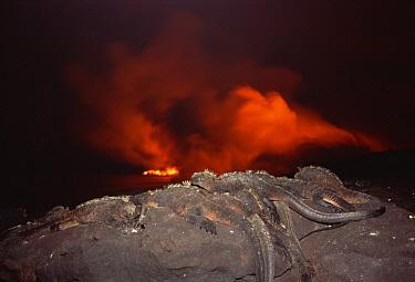 Marine Iguana (Amblyrhynchus cristatus) group with new lava flow, Cape Hammond, Fernandina Island, Galapagos Islands, Ecuador  -  Tui De Roy