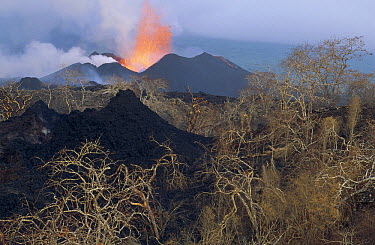 New spatter cones in old vegetated crater with lava fountain from active vent along radial fissure on flank of shield volcano, Cape Hammond, Fernandina Island, Galapagos Islands, Ecuador  -  Tui De Roy