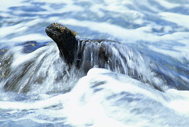 Marine Iguana (Amblyrhynchus cristatus) feeding in wave wash at low tide, Academy Bay, Santa Cruz Island, Galapagos Islands, Ecuador  -  Tui De Roy