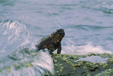 Marine Iguana (Amblyrhynchus cristatus) grazing on algae in wave wash at low tide, Santa Cruz Island, Galapagos Islands, Ecuador  -  Tui De Roy