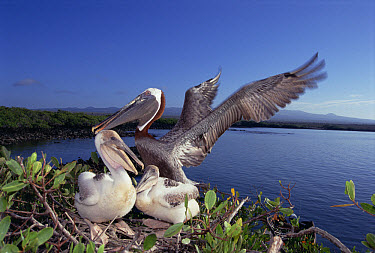 Brown Pelican (Pelecanus occidentalis) guarding chicks in Mangrove (Avicennia sp) nest, Turtle Bay, Santa Cruz Island, Galapagos Islands, Ecuador  -  Tui De Roy