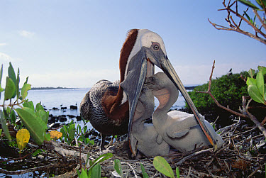 Brown Pelican (Pelecanus occidentalis) feeding chicks by regurgitation in Mangrove (Avicennia sp) nest, Turtle Bay, Santa Cruz Island, Galapagos Islands, Ecuador  -  Tui De Roy