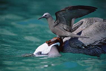 Brown Noddy (Anous stolidus) attempting to snatch fish from Brown Pelican (Pelecanus occidentalis), Academy Bay, Santa Cruz Island, Galapagos Islands, Ecuador  -  Tui De Roy