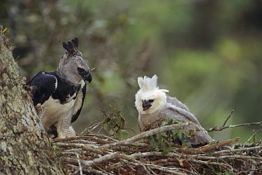 Harpy Eagle (Harpia harpyja) female tending to her juvenile chick, Ese'eja native lands, Tambopata River, Amazonian Peru  -  Tui De Roy