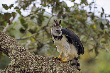 Harpy Eagle (Harpia harpyja) female surveying her territory from a Brazil nut tree, Ese'eja native lands, Tambopata River, Amazonian Peru  -  Tui De Roy