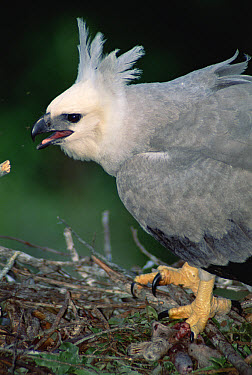 Harpy Eagle (Harpia harpyja) juvenile in nest with its prey, a young Three-toed Sloth, Ese'eja native lands, Tambopata River, Amazonian Peru  -  Tui De Roy