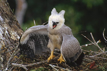 Harpy Eagle (Harpia harpyja) juvenile in nest taking a threat posture at a passing Vulture, Ese'eja native lands, Tambopata River, Amazonian Peru  -  Tui De Roy